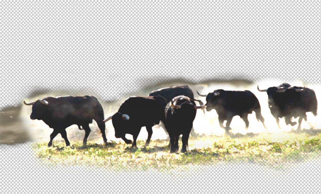 troupeau de toros